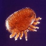 Varroa jacobsoni mite. Photo by Scott Bauer. Image Number K5111-10